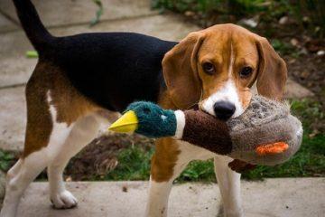 Dicas a serem lembradas se você deseja adotar um Beagle